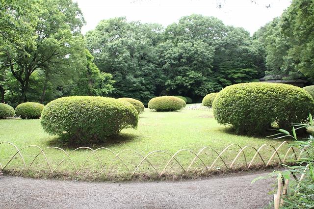 前庭の躑躅の植え込み_1