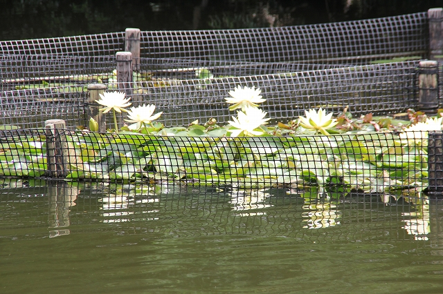 御釣台から見る睡蓮の花_1