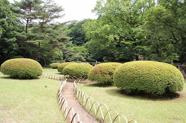 前庭の躑躅の植え込み_2