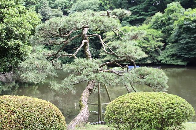 御釣台のそばの見事な枝ぶりの松_1