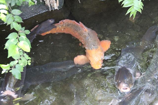 清水で泳ぐ鯉_2