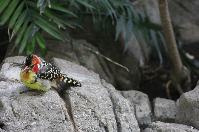 ホオアカオナガゴシキドリ