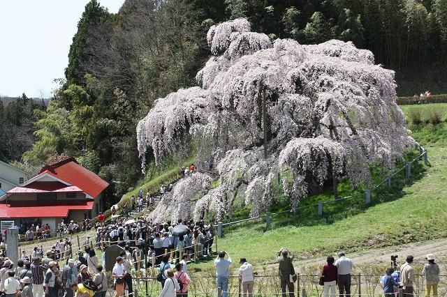 三春の滝桜_2