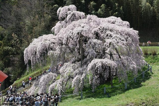 三春の滝桜_3