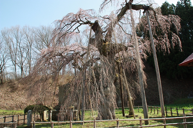 永泉寺の桜