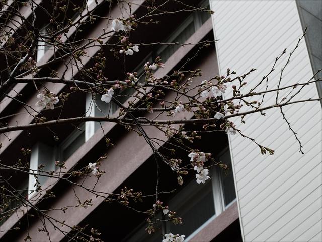 咲き出したソメイヨシノ_2