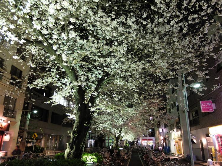 昨21日夜の呑川遊歩道の桜