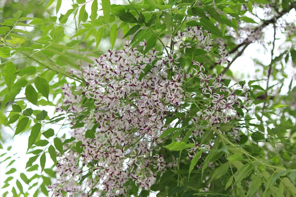 何の木の花だろうか?_2