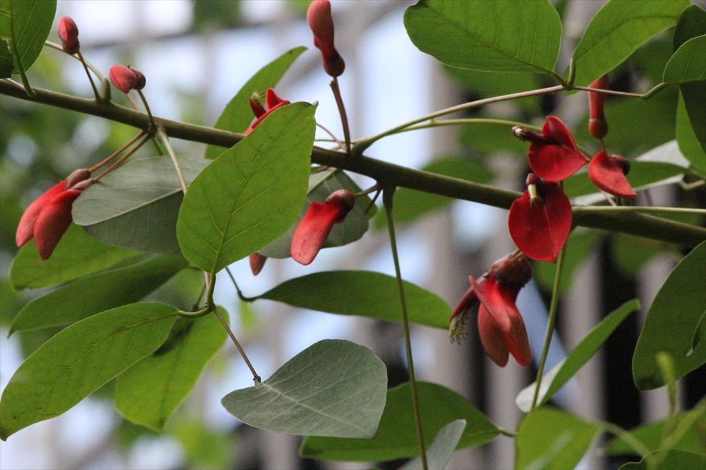 フェリス女学院中高の庭の海紅豆_3