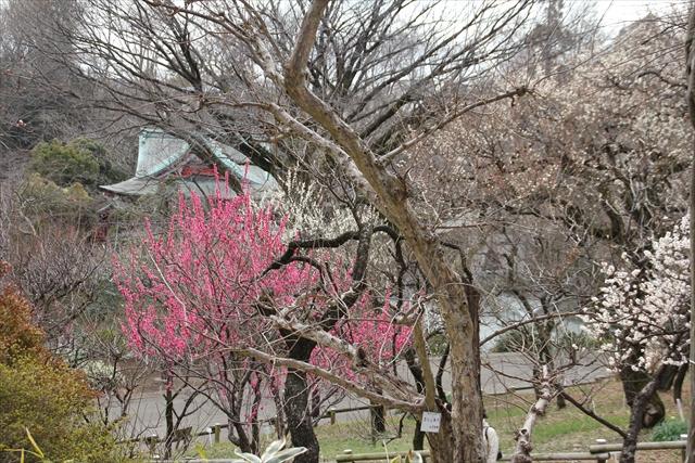 梅の花がお出迎え_1