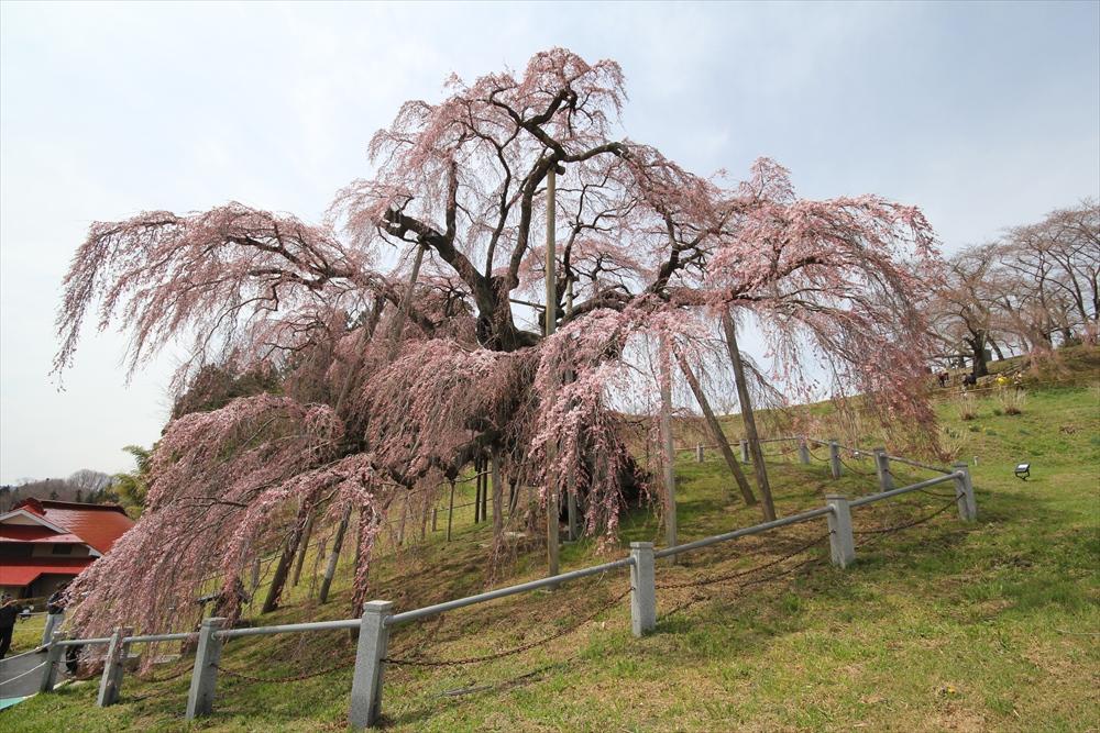 三春滝桜_2