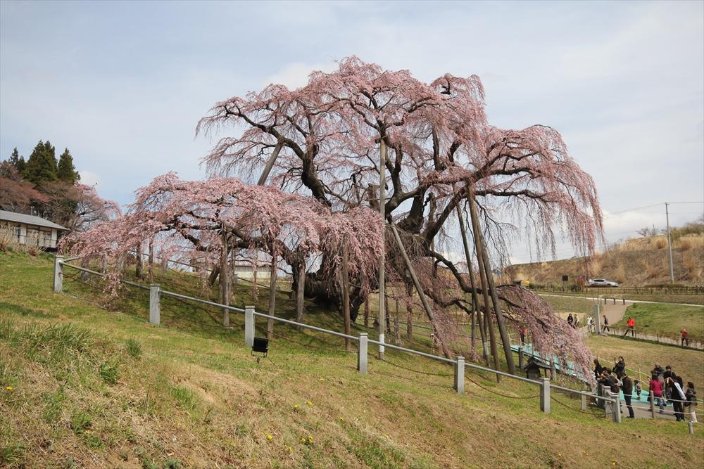 三春滝桜_5