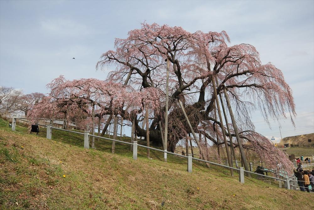 三春滝桜_7