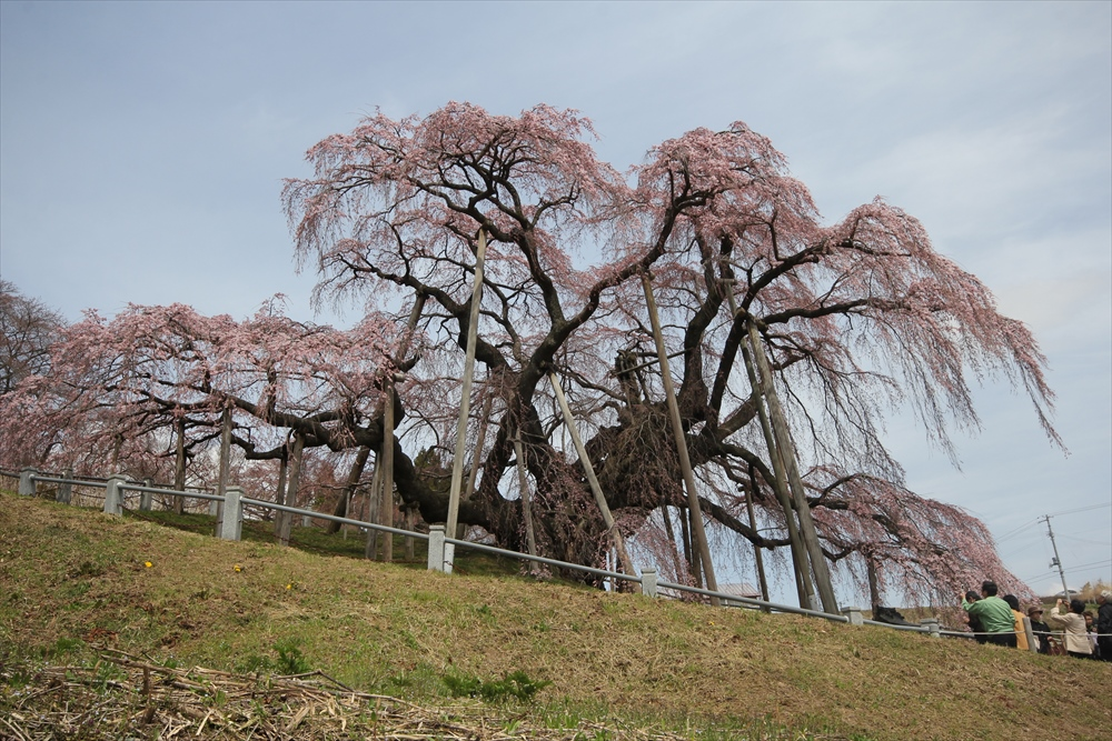 三春滝桜_8