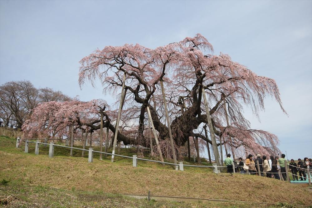 三春滝桜_9