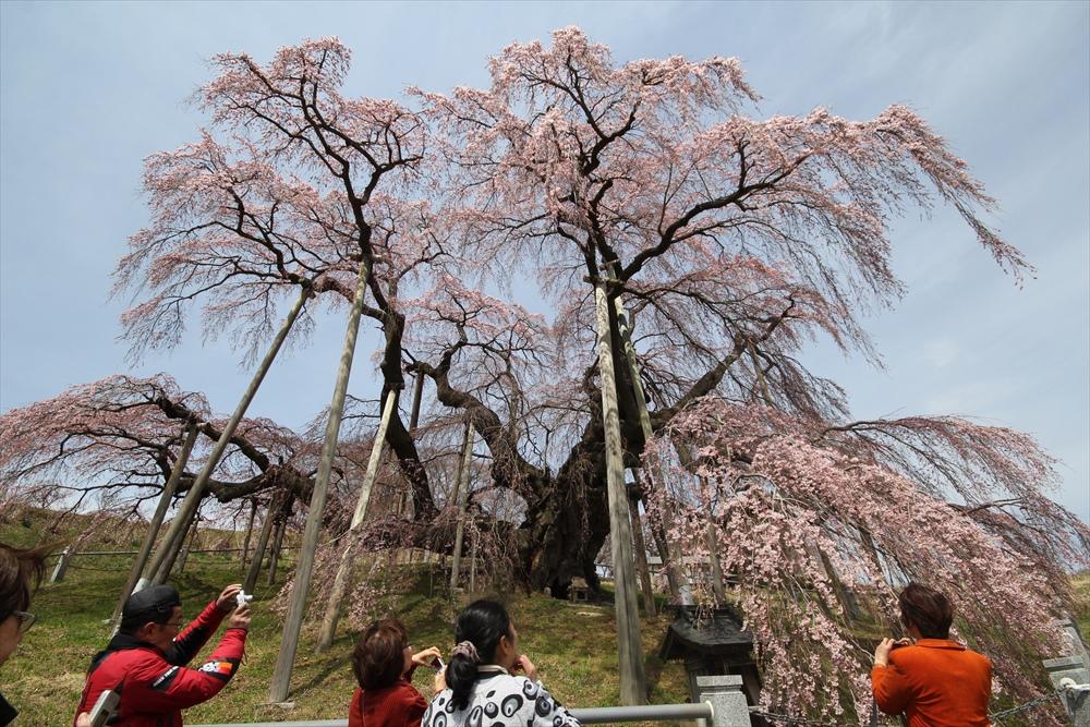 三春滝桜_11