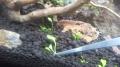グロッソ植栽