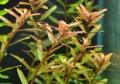 rotundifolia_05_DSC_3639.jpg