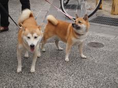 柴犬の集い