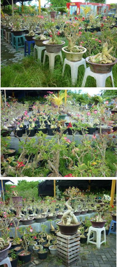 南国盆栽ブログサイズ