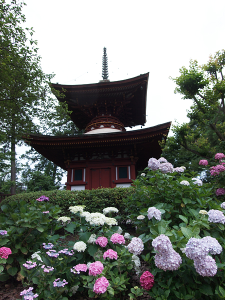 久米寺の紫陽花2012
