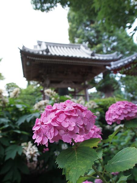 久米寺の鐘と紫陽花2012