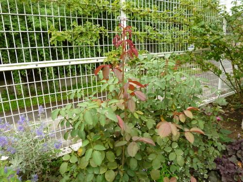 ロサオリ庭3