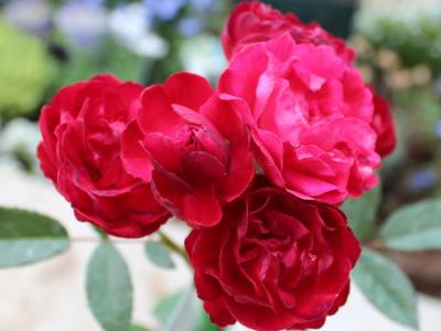 紅玉 20120515