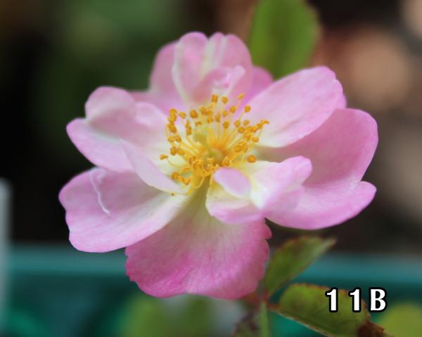 交配 11B 20120530 開花