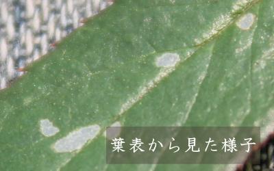 害虫 ヨトウムシ