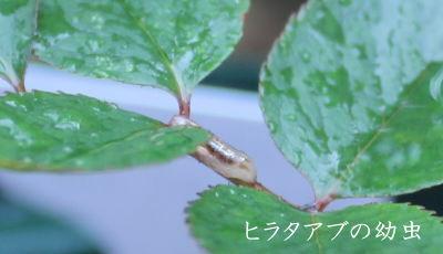 ヒラタアブ 幼虫