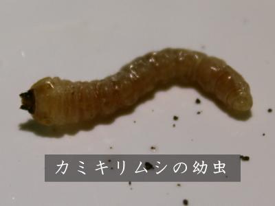 害虫 カミキリムシ