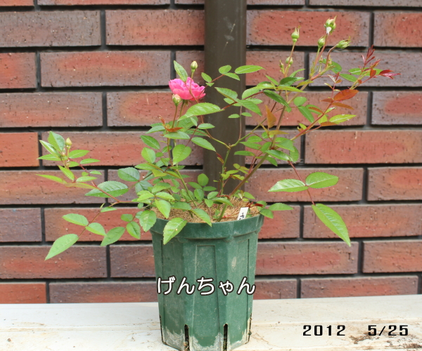 バラピーげん 土の実験 20120525