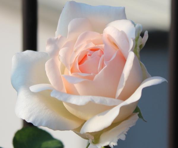 セバスチャンクナイプ 開花の様子