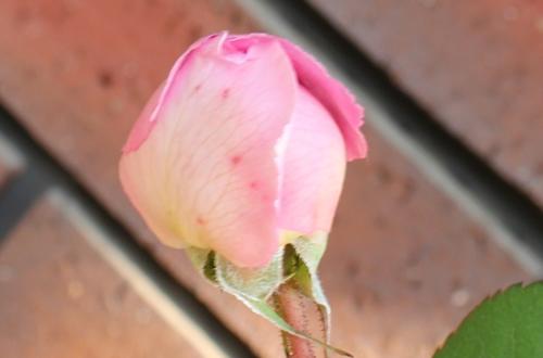 アランティッチマーシュ 開花の様子