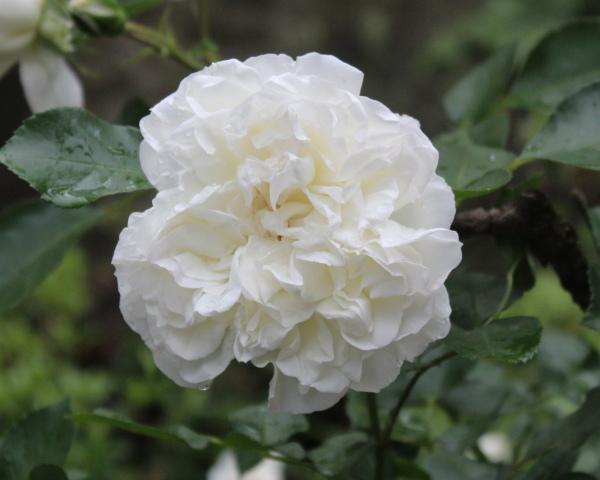 ホワイトメイディランド 20120601