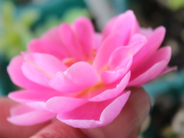 バラの交配 4A 20120604