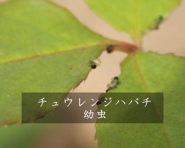 チュウレンジハバチ 2012