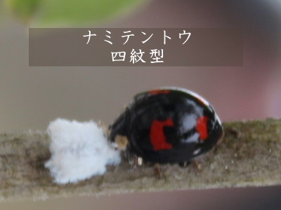 益虫 テントウムシ