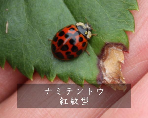 ナミテントウ 紅紋型 テントウムシ