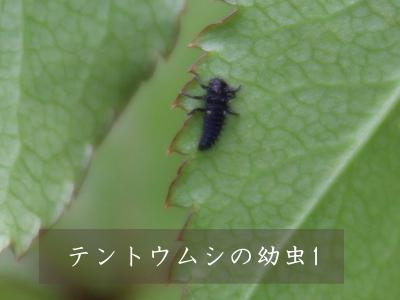 テントウムシ 幼虫