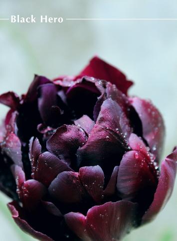 庭の花 チューリップ ブラックヒーロー