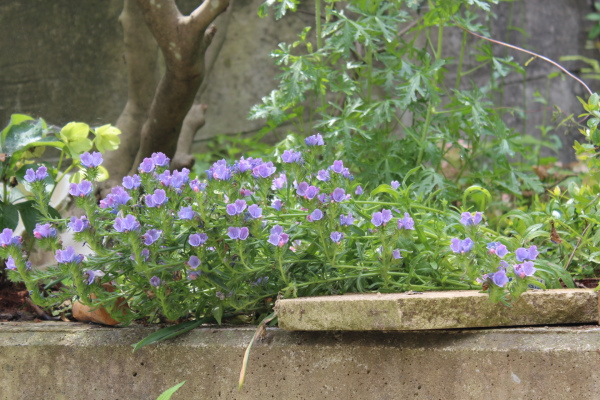 エキウムブルガレ 庭の花 2012