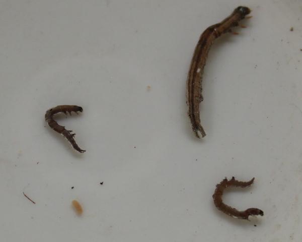 害虫 ホソオビアシブトクチバ