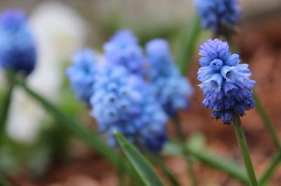 ムスカリ 庭の花