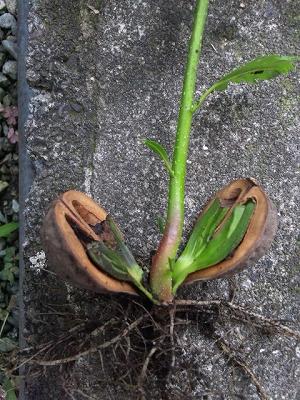 子葉を拡大
