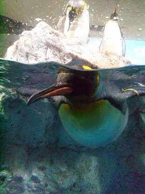 近寄ってきたペンギン