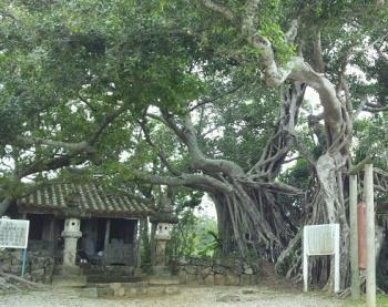 キジムナータンメーの住むガジュマルの木>
