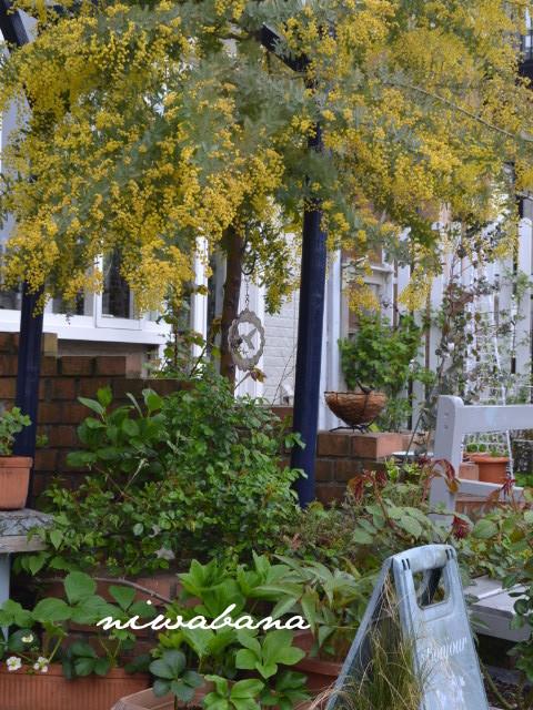 ミモザ花壇