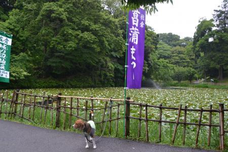 20120616佐倉菖蒲まつり04